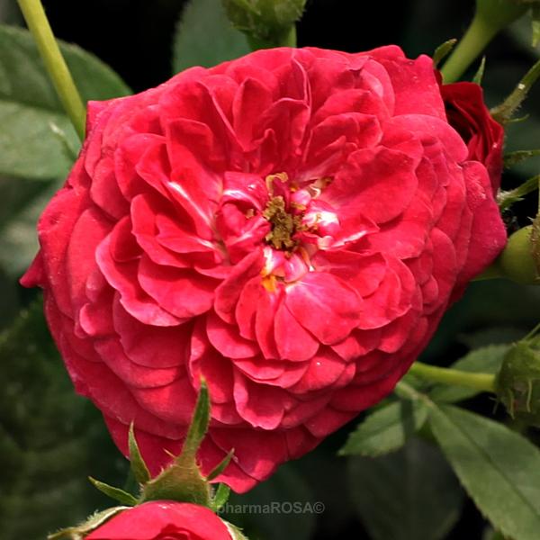 Red Climber Rose Discrete Fragrance Kisses Of Fire Buy