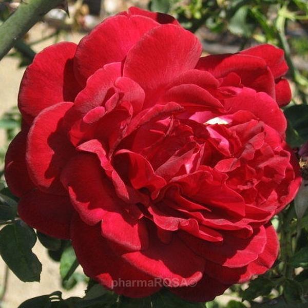 Red Climber Rose Discrete Fragrance Thor Roses Online