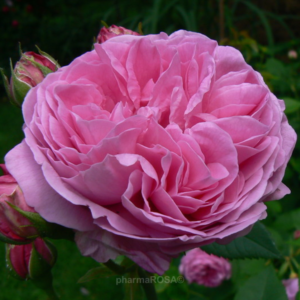 louise odier very fragrant old rose